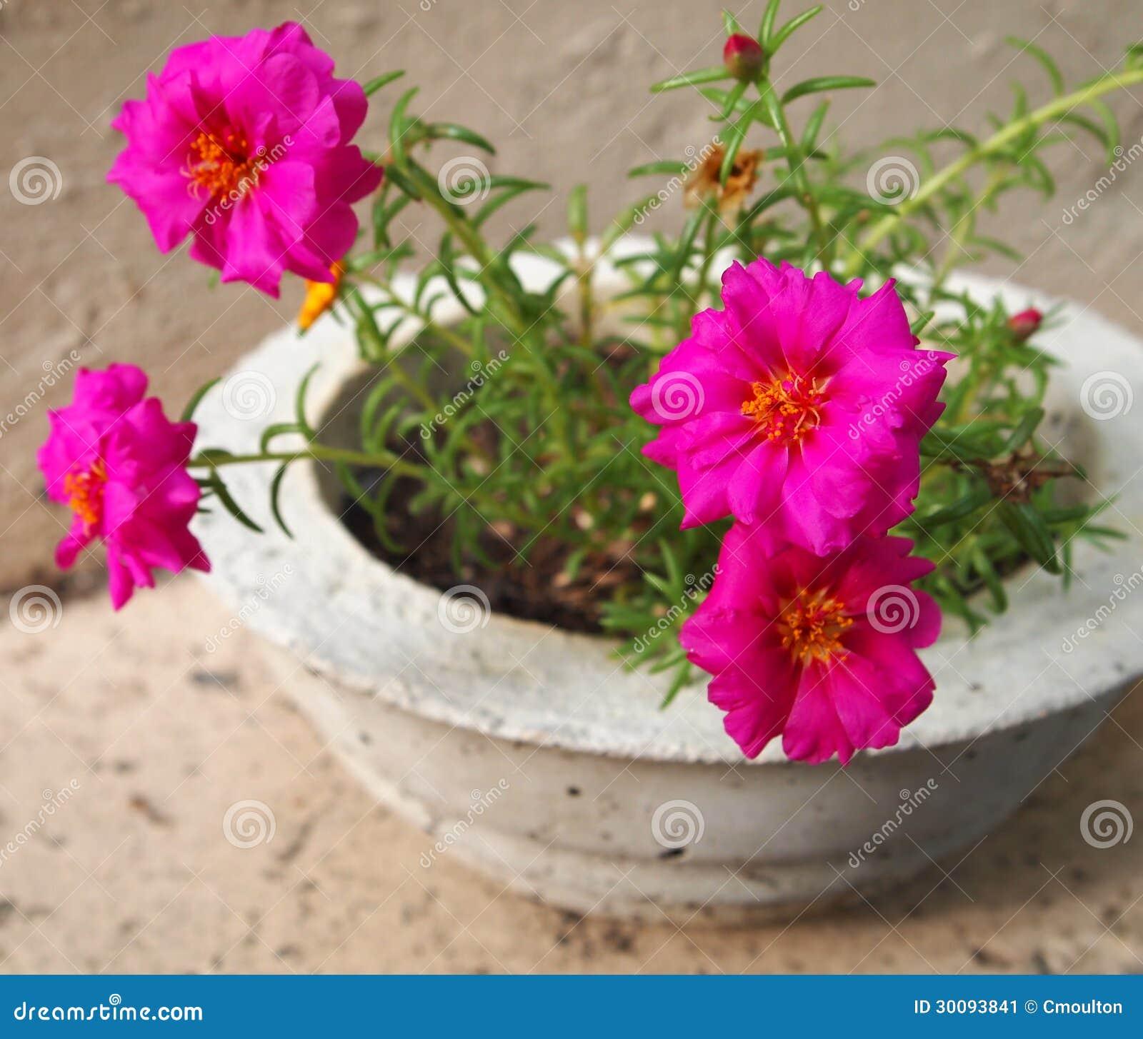 portulaca flowers in concrete pot stock image image 30093841