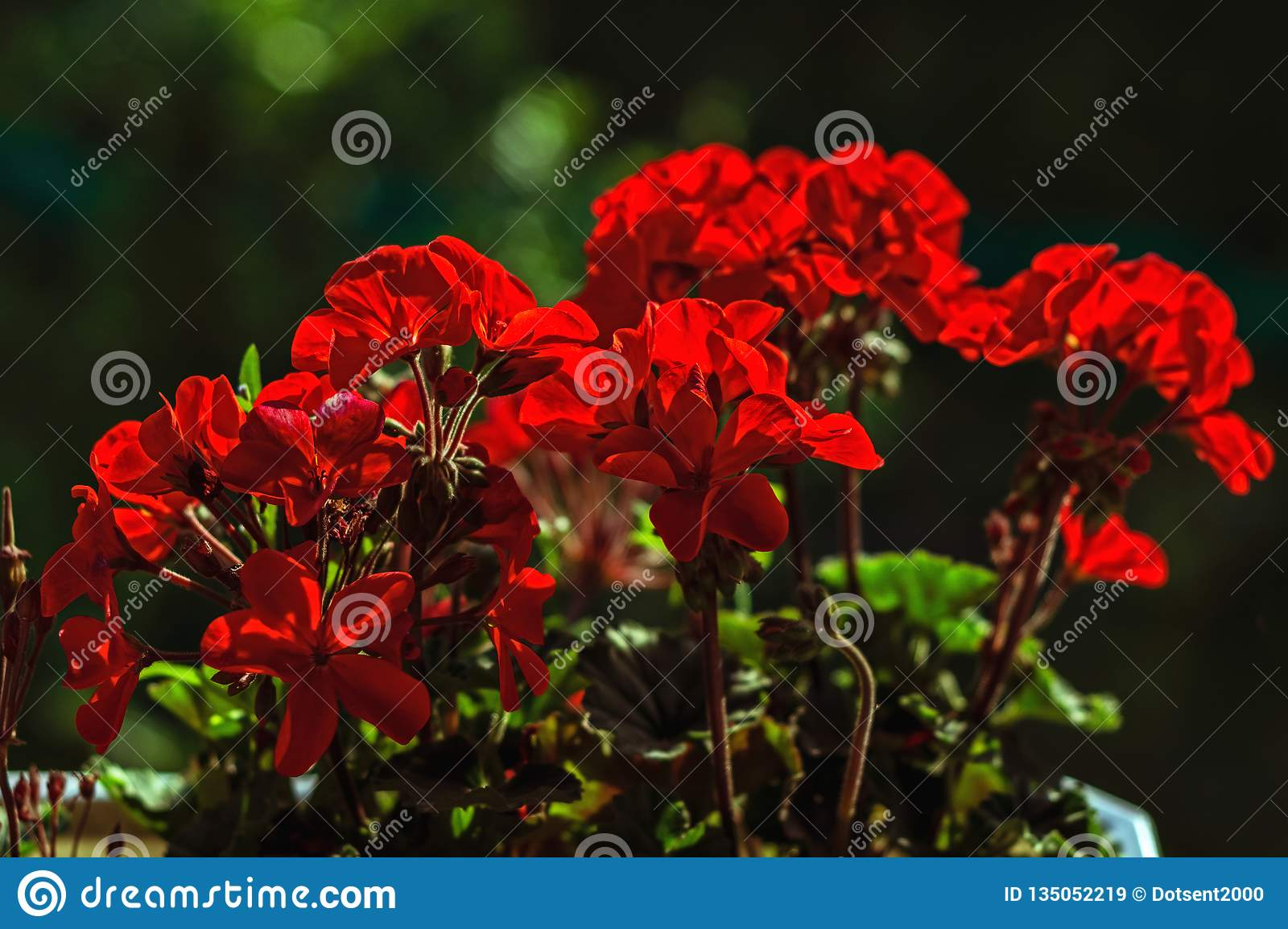 Bright Geranium flowers