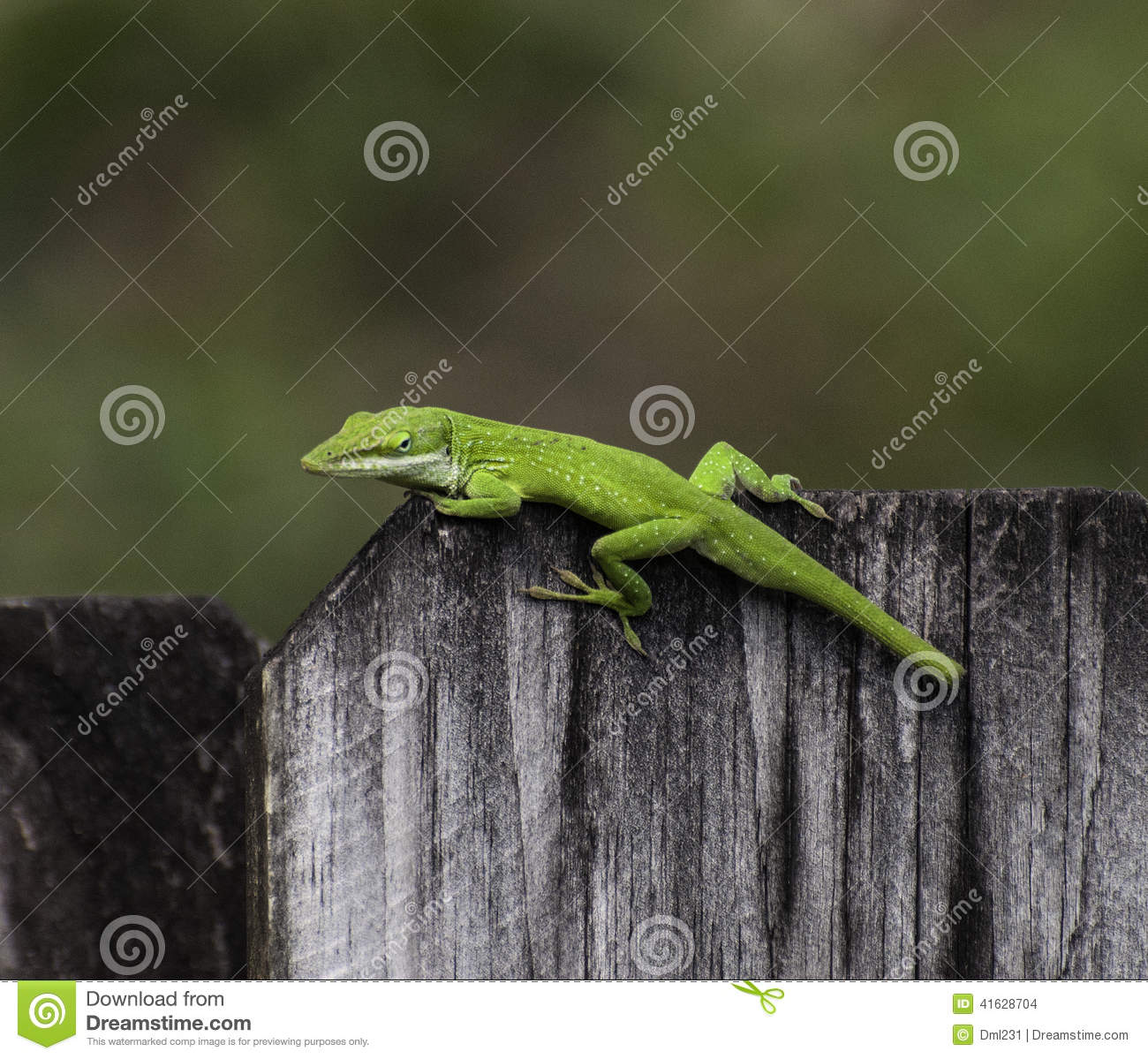 Bright Green Anole on Wood Fence