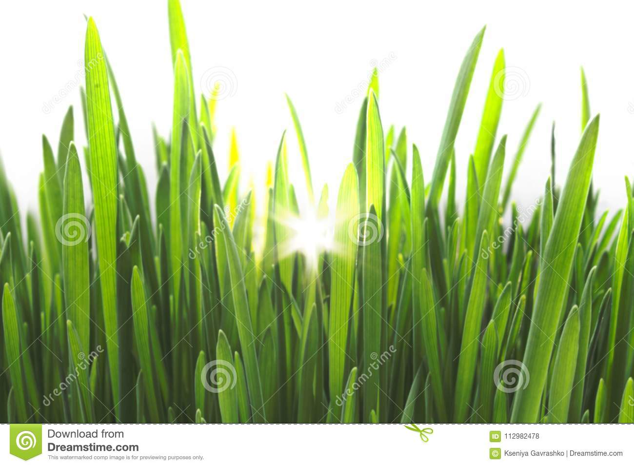 Bright Green Fresh Grass Isolated on White Background with Sunlight