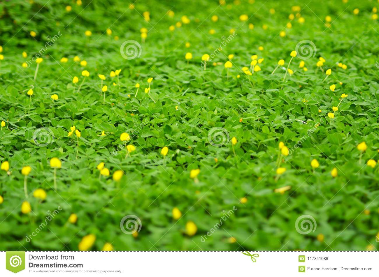 A Patch Of Green Plants Covering A Meadow With Small Yellow Flowers