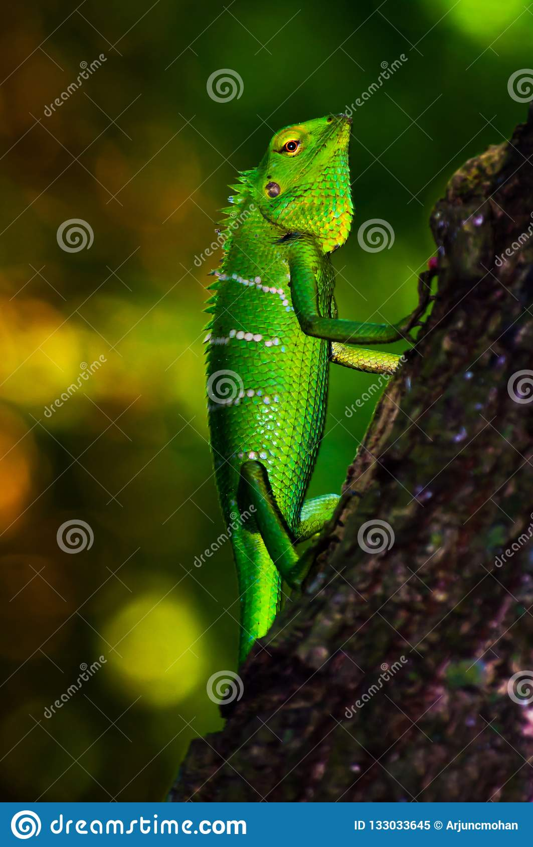 Bright green scaled forest Lizard.