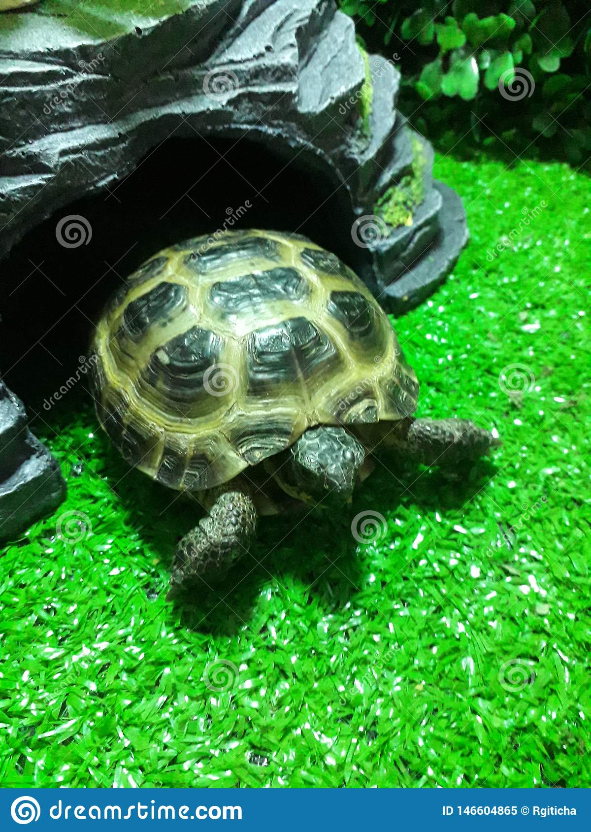 Bright green turtle of Central Asia stands in a terrarium