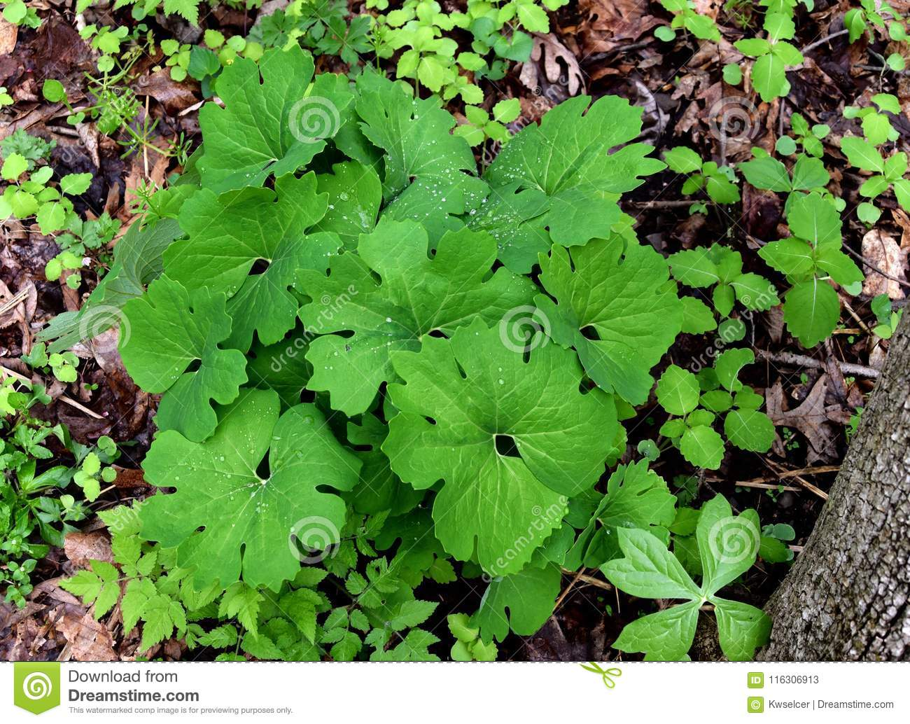 Bright Green Unusual Leaves And Bloodroot Plant In A Spring