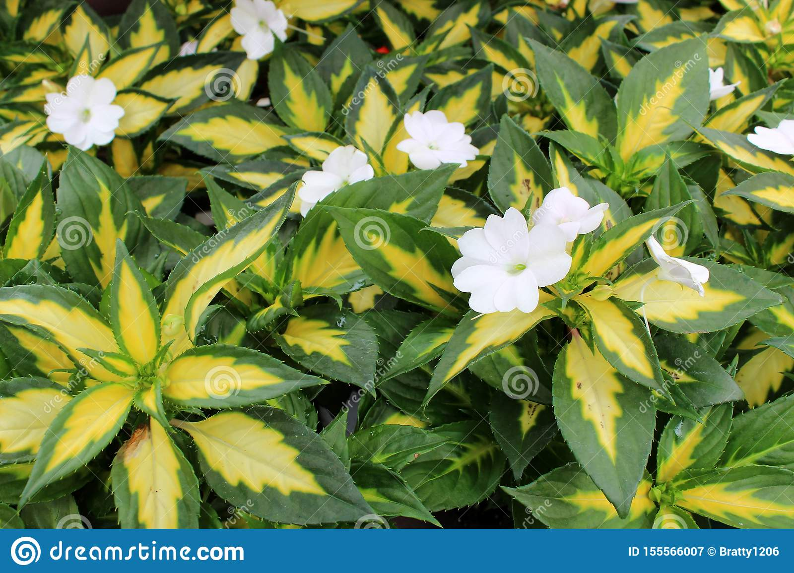 Bright Green And Yellow Leaves Of Plants In Garden With White Flowers Covering Surface Stock Image Image Of Colorful Surface 155566007
