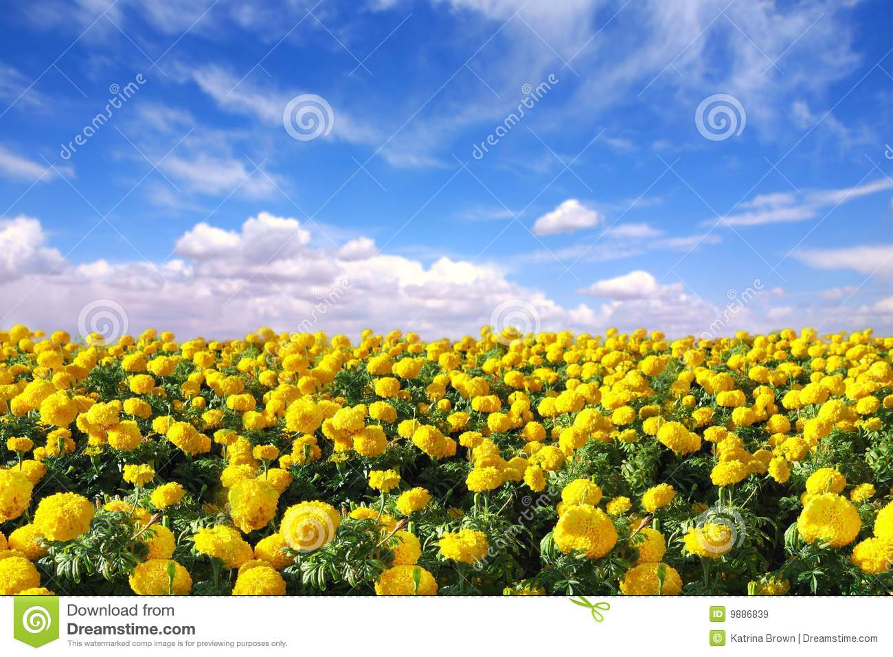 Download Bright Happy Field Of Marigold Flowers Stock Image - Image of field, nobody: 9886839