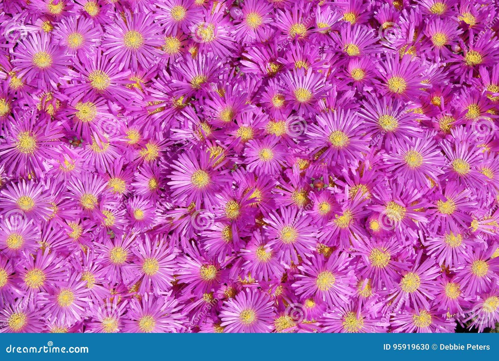 Bright Lavender Ice Plant