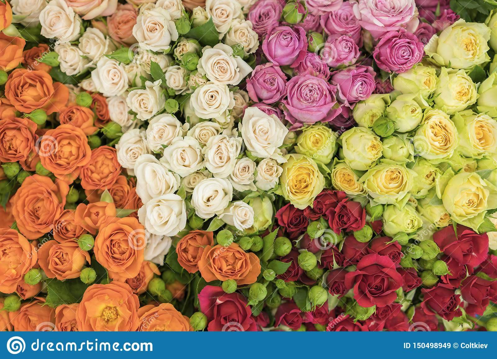 Bright multicolored bouquet of roses. Multicolored fresh roses background. Plenty of colorful bright roses close up