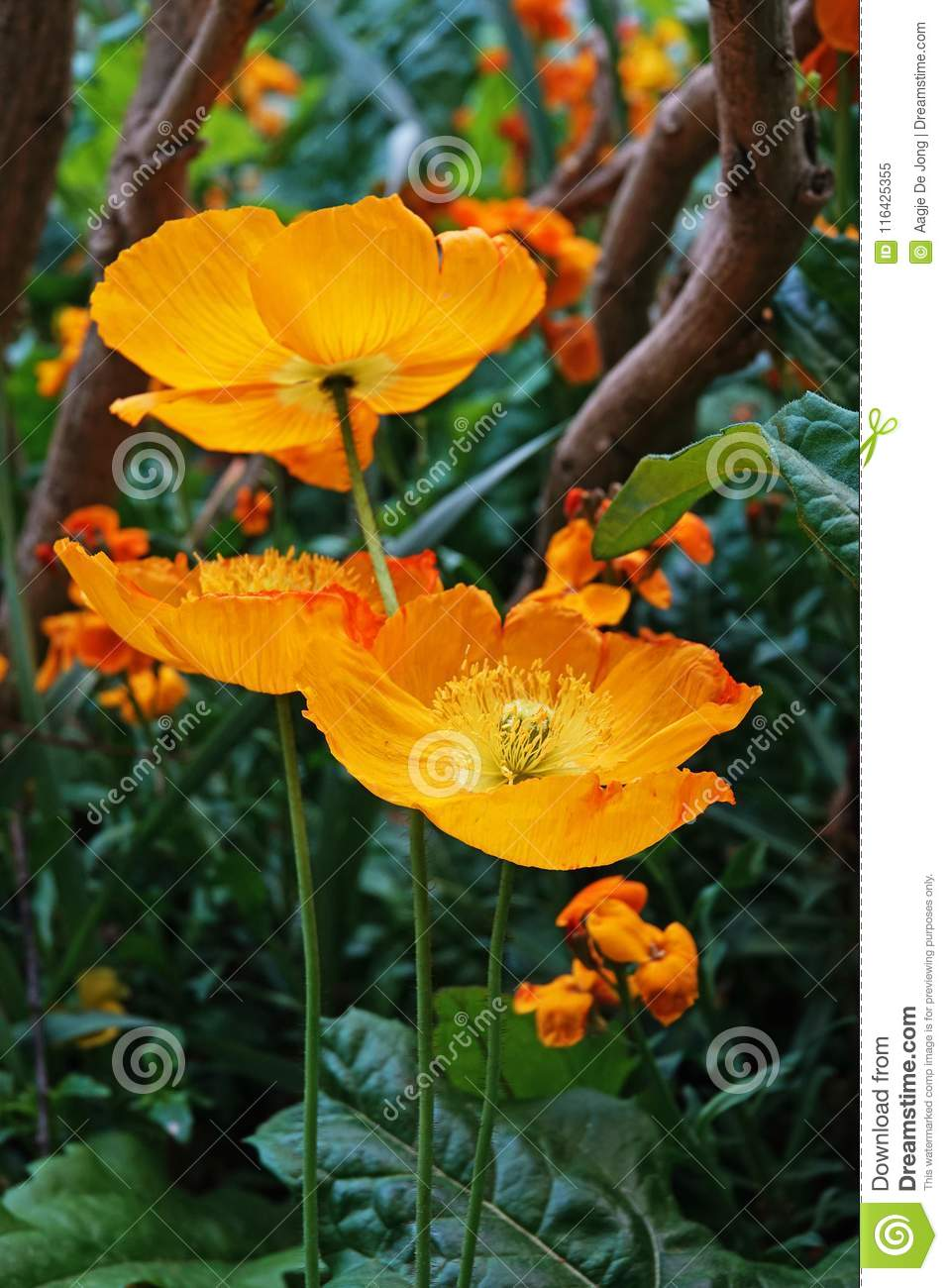 Orange Poppy Flowers In Monets Garden In Giverny Stock Image Image