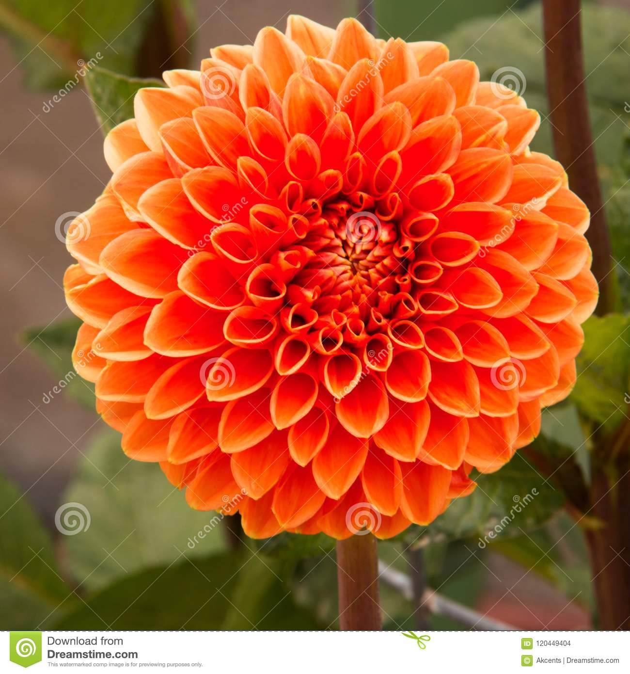 Bright orange blooming dahlia flower stock photo image of abstract colorful blooming orange dahlia flower close up in a flower garden izmirmasajfo