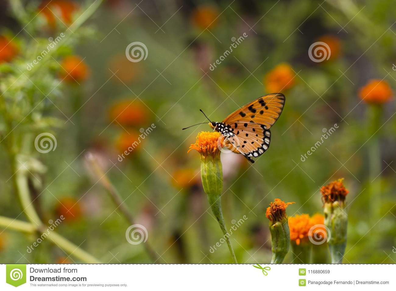 Tawny Coster butterfly - Acraea terpsicore