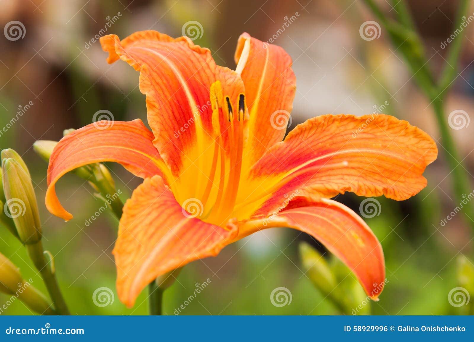 Bright orange flowers of lily stock photo image of color download bright orange flowers of lily stock photo image of color vegetable 58929996 izmirmasajfo