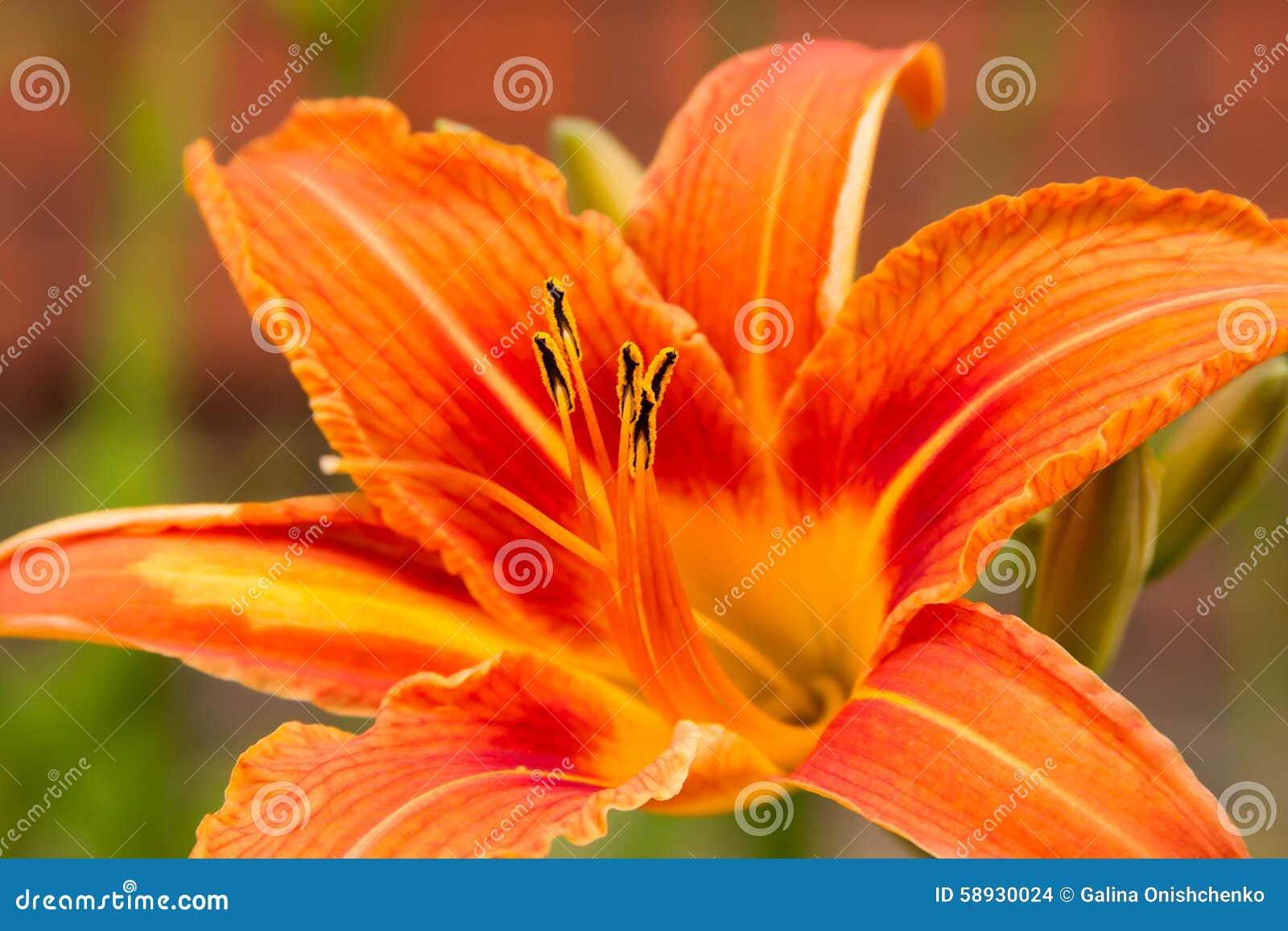 Bright orange flowers of lily stock photo image of petals summer download bright orange flowers of lily stock photo image of petals summer 58930024 izmirmasajfo