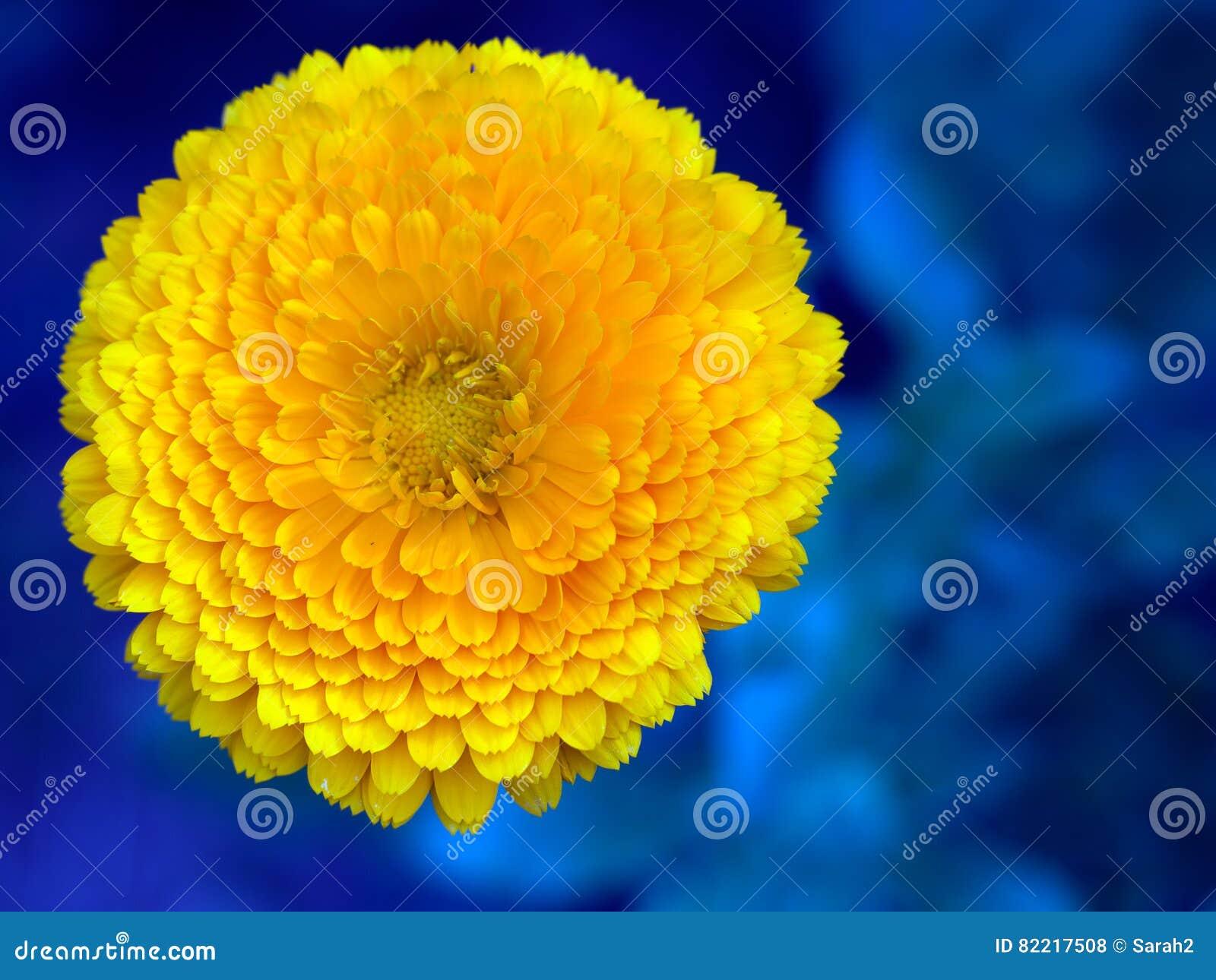 Bright Orange Pot Marigold Flower Against Blue Calendula Stock