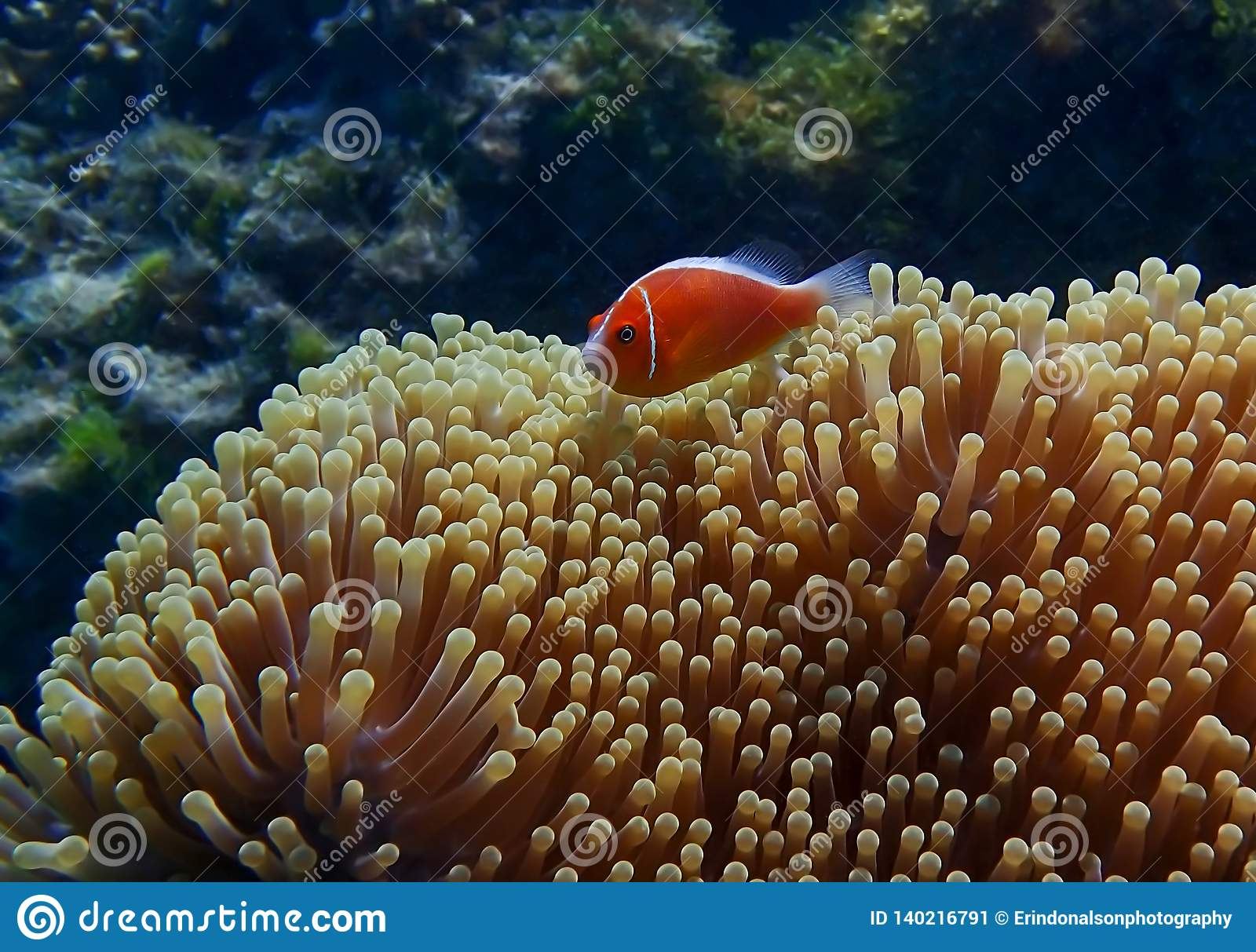 Bright orange tropical fish over large anemone with coral reef