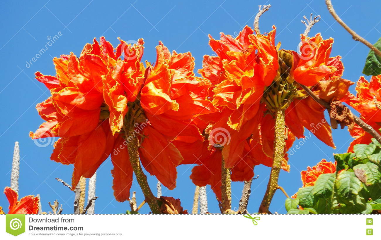 Bright Orange Tropical Flowers In The Canaries Stock Photo Image Of Clear Canaries 73208968