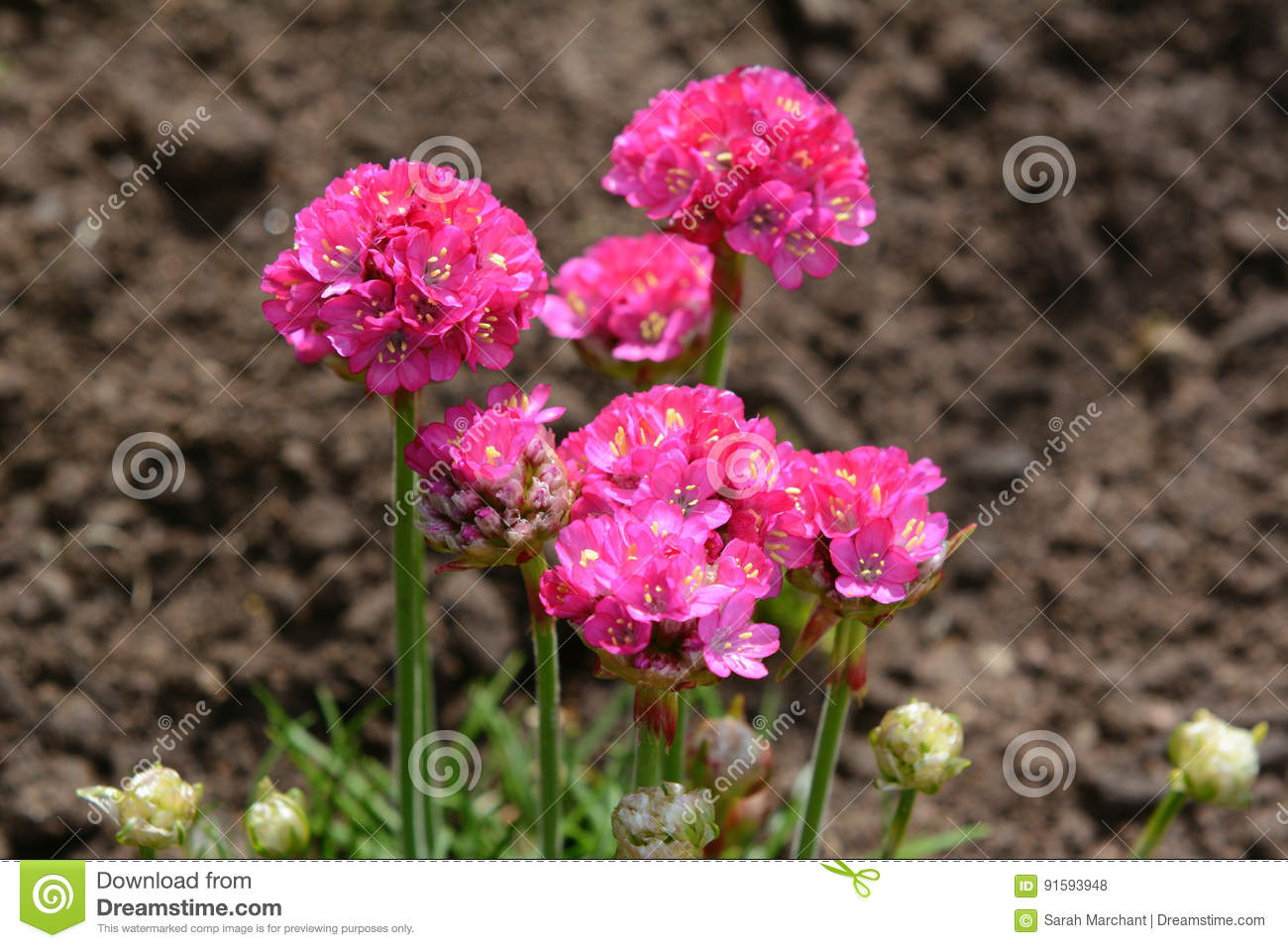 Bright Pink Armeria Flowers Stock Photo Image Of Soil Thrift