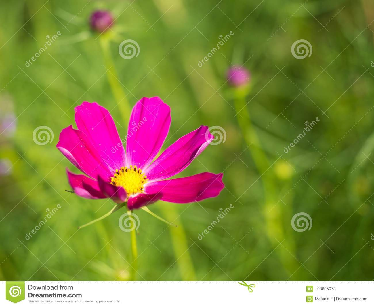 Bright pink cosmo flower stock image image of background 108605073 download bright pink cosmo flower stock image image of background 108605073 mightylinksfo