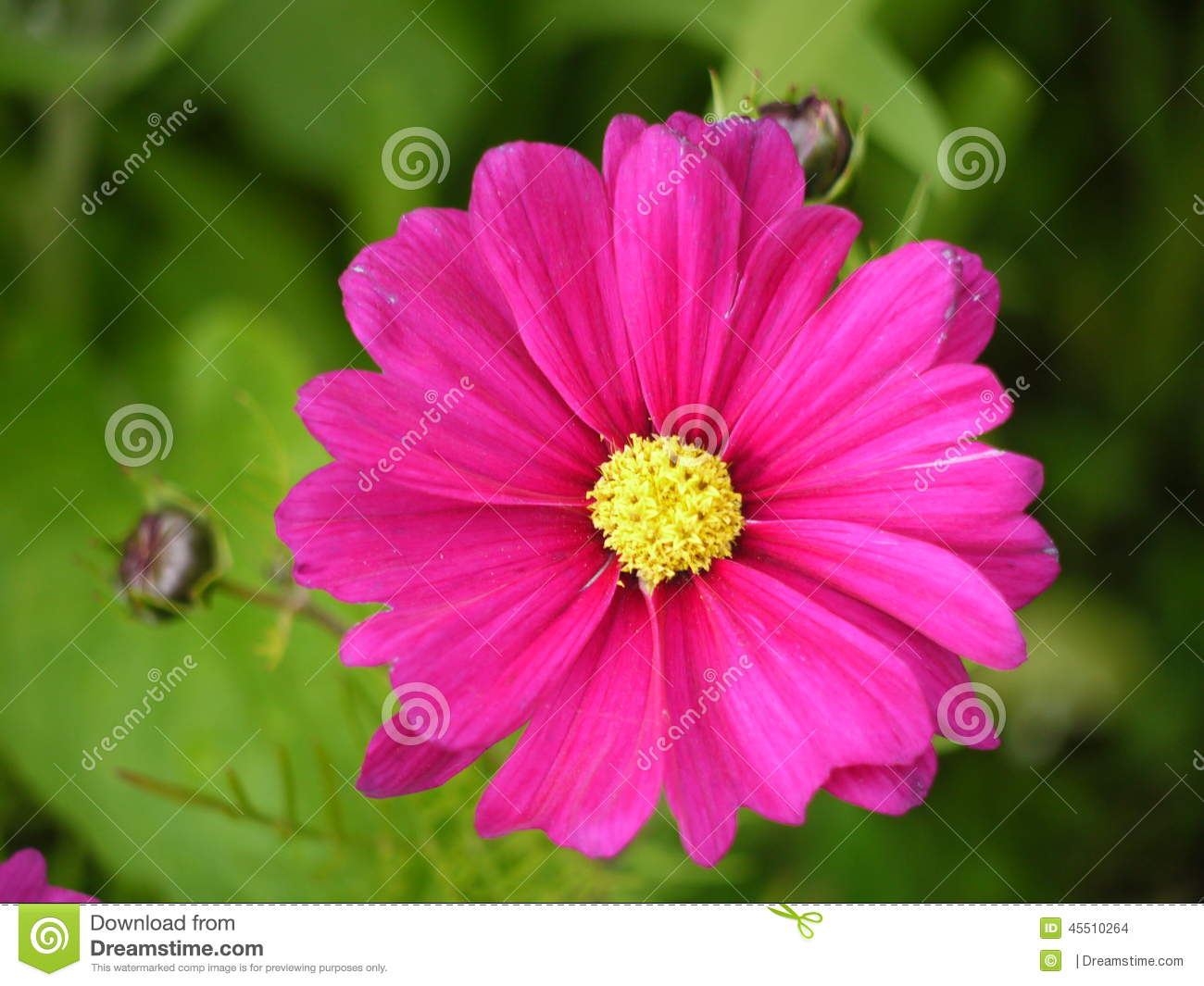 Bright pink cosmos flower stock photo image of flowers 45510264 bright pink cosmos flower mightylinksfo