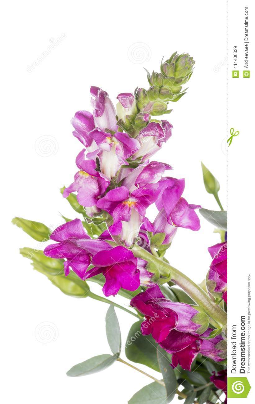 cfedf2971b47 Bright pink crimson tender flower of a lion`s pharynx on a white isolated  background