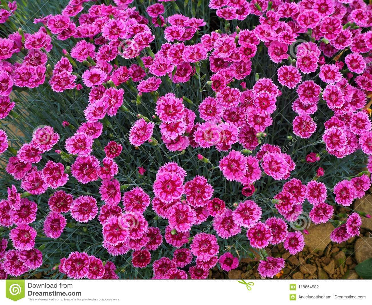 Bright pink dianthus flowers pinks variety gold speck stock photo bright pink dianthus flowers pinks variety gold speck mightylinksfo