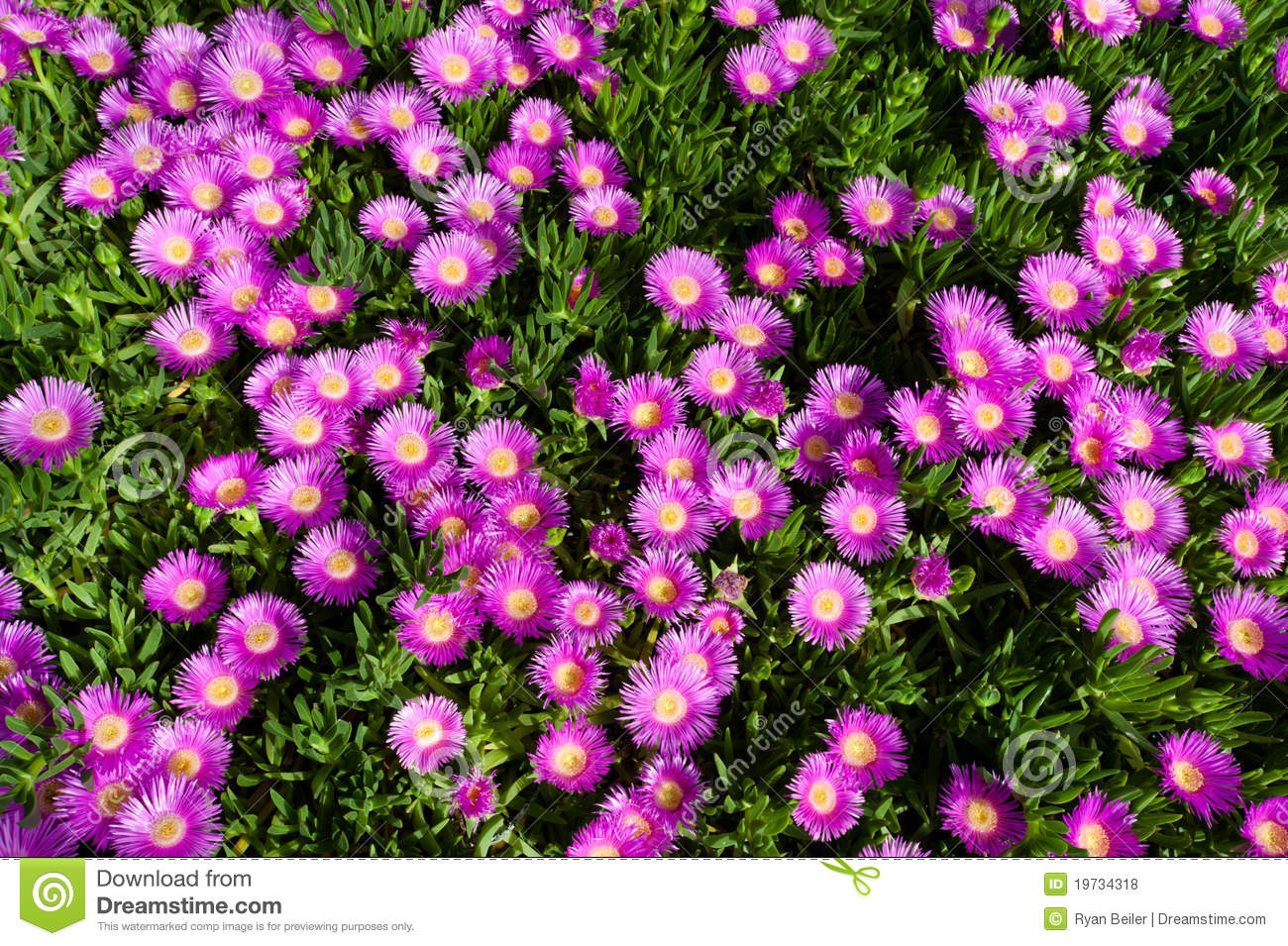 Bright Pink Flower On Creeping Succulent Plant Stock Photo Image
