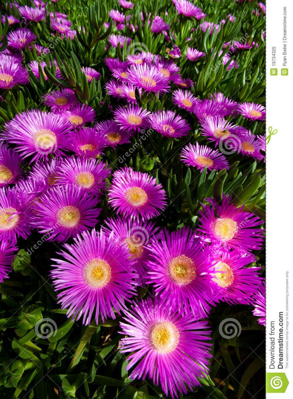 Bright Pink Flower On Creeping Succulent Plant Stock Image Image