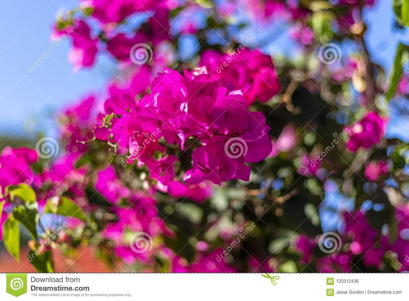 Bright Pink Flower Details Stock Photo Image Of Flower 120312436