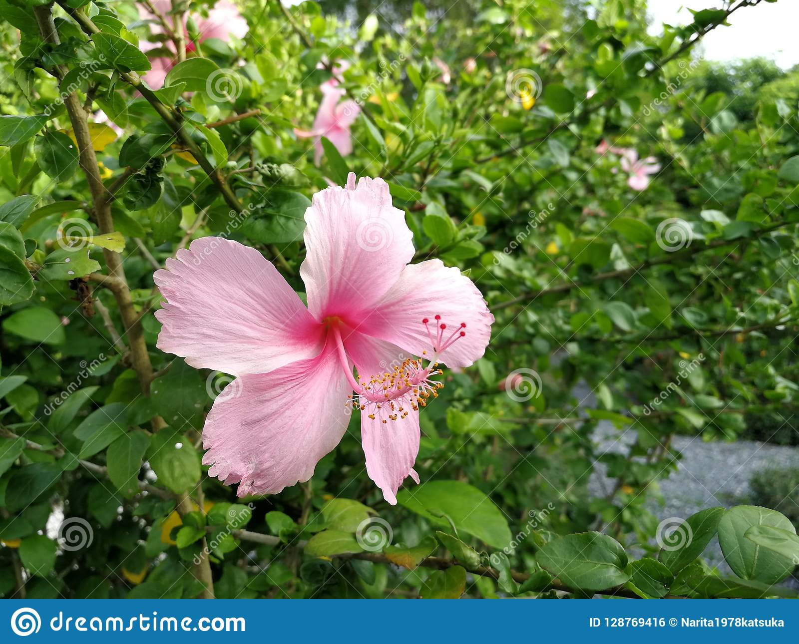 Bright Pink Flower Of Purple Hibiscus On Green Leaves Natura Stock