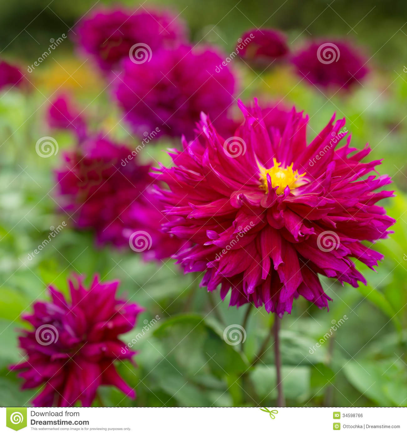 Bright Pink Flowers Blooming Dahlias Stock Photo Image Of Ecology