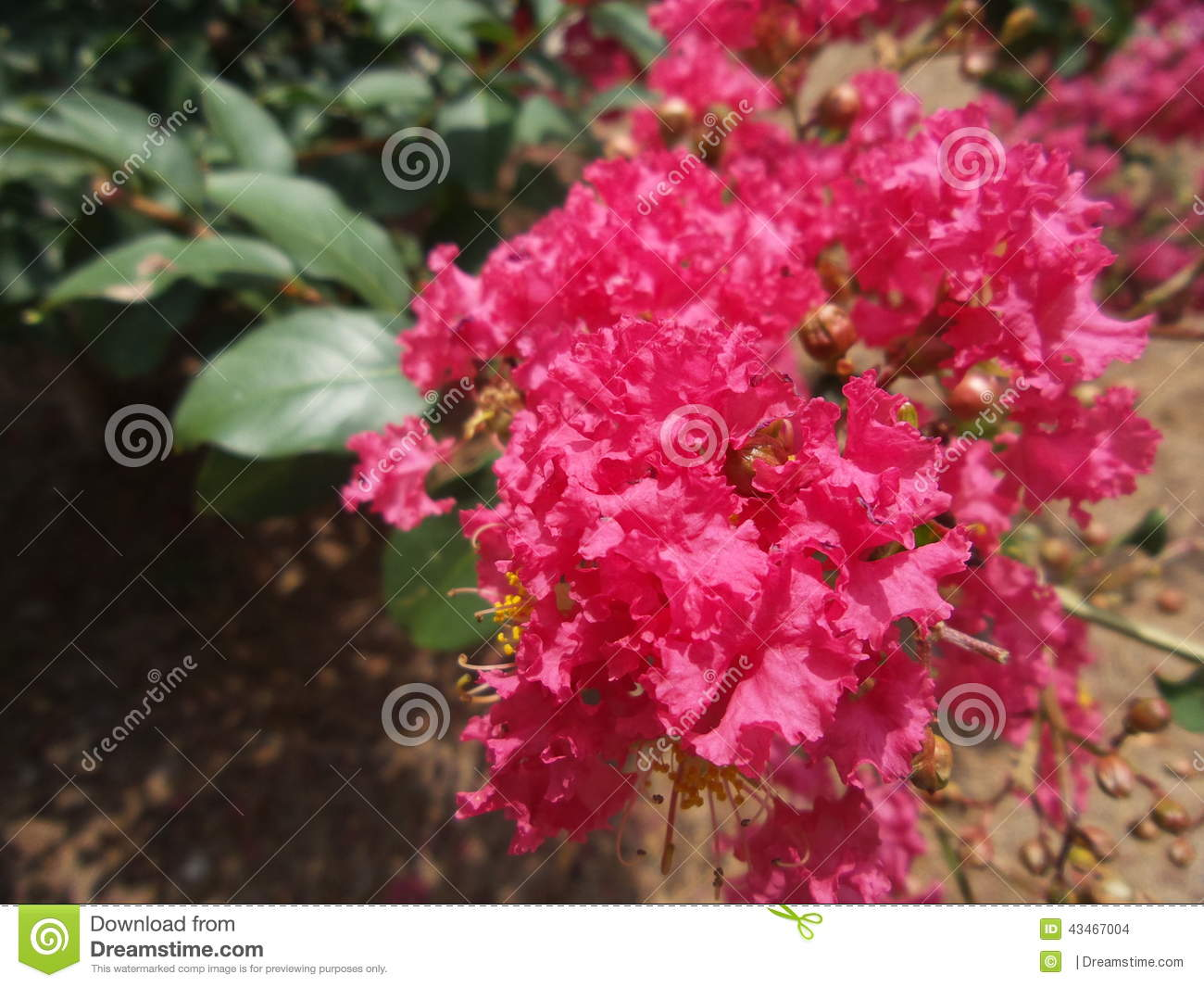 Bright Pink Flowers Stock Photo Image Of Bush Magenta 43467004