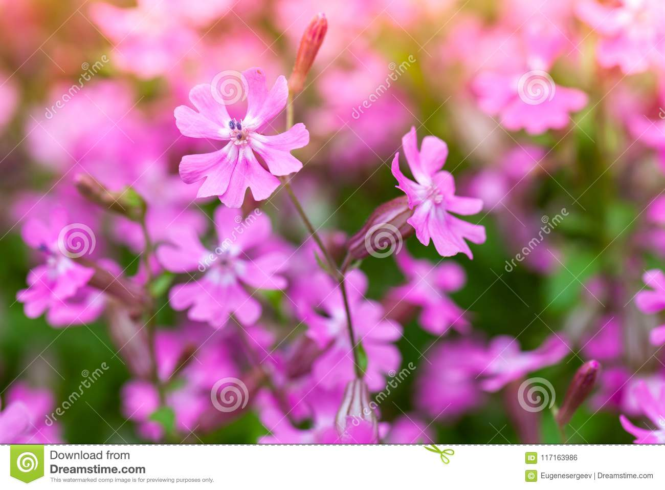Bright Pink Flowers In Spring Garden Macro Stock Photo Image Of Use Selective Focus Photography For Dummies