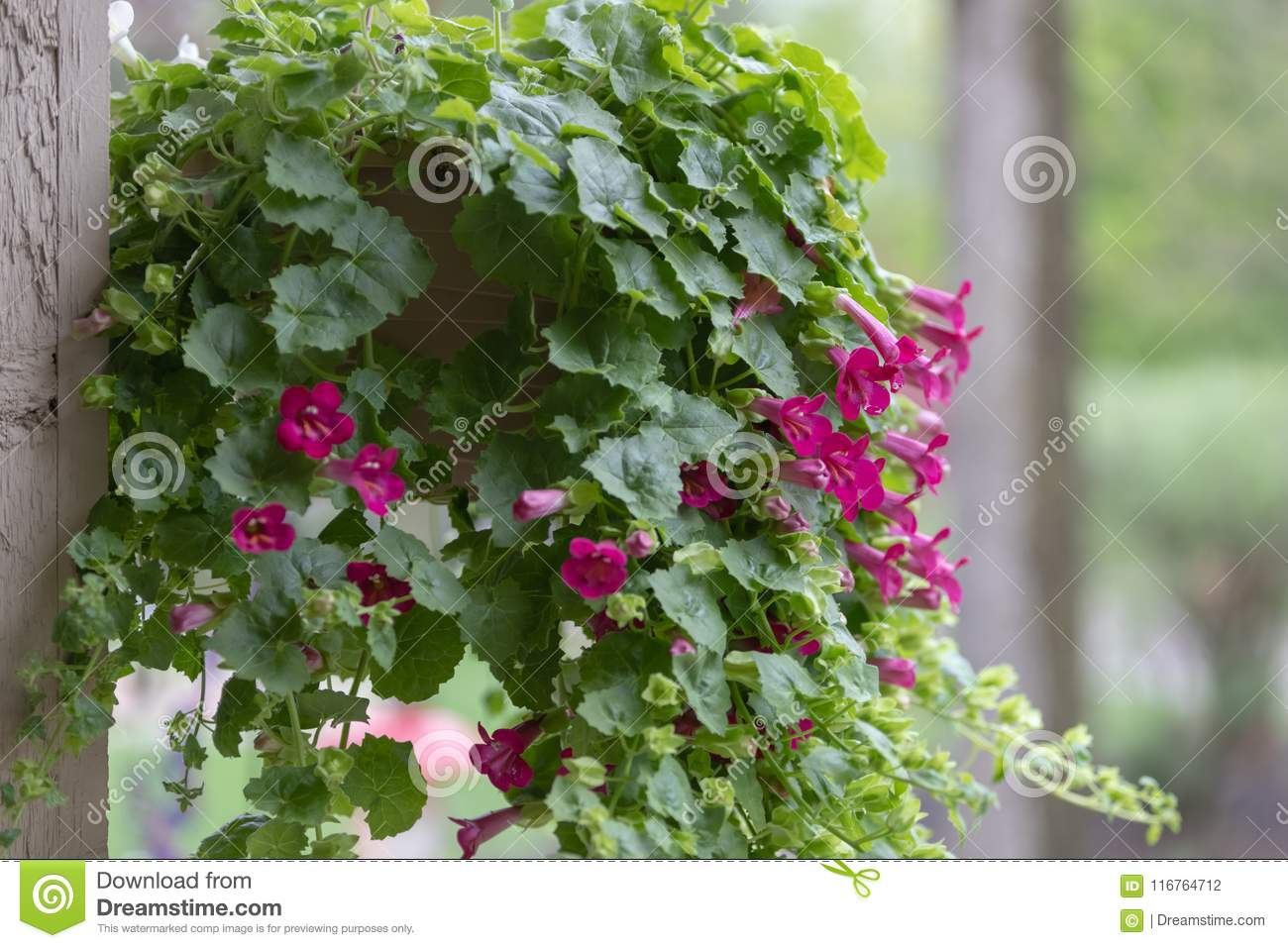Bright pink flowers on vines stock photo image of decoration download bright pink flowers on vines stock photo image of decoration bloom 116764712 mightylinksfo
