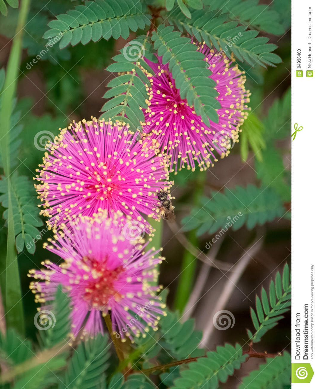 Bright Pink Fluffy Mimosa Tree Flowers Stock Photo Image Of Mimosa