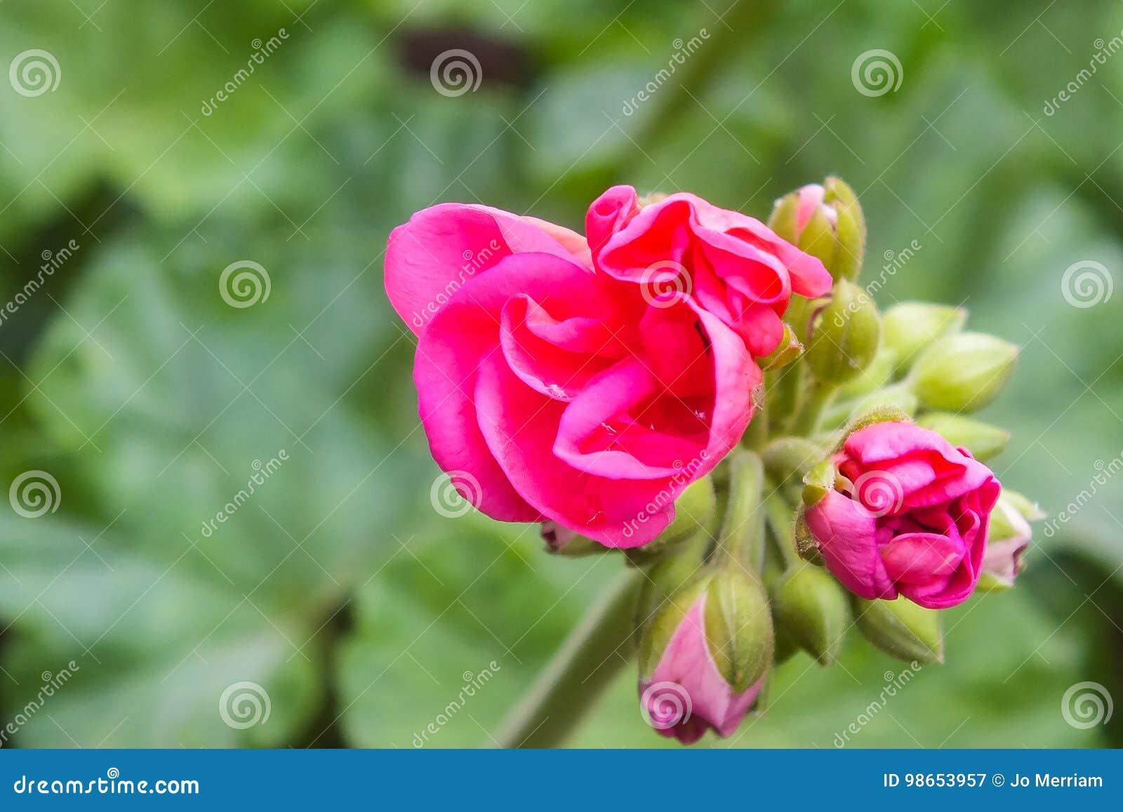 Bright Pink Geranium Flower Buds Opening