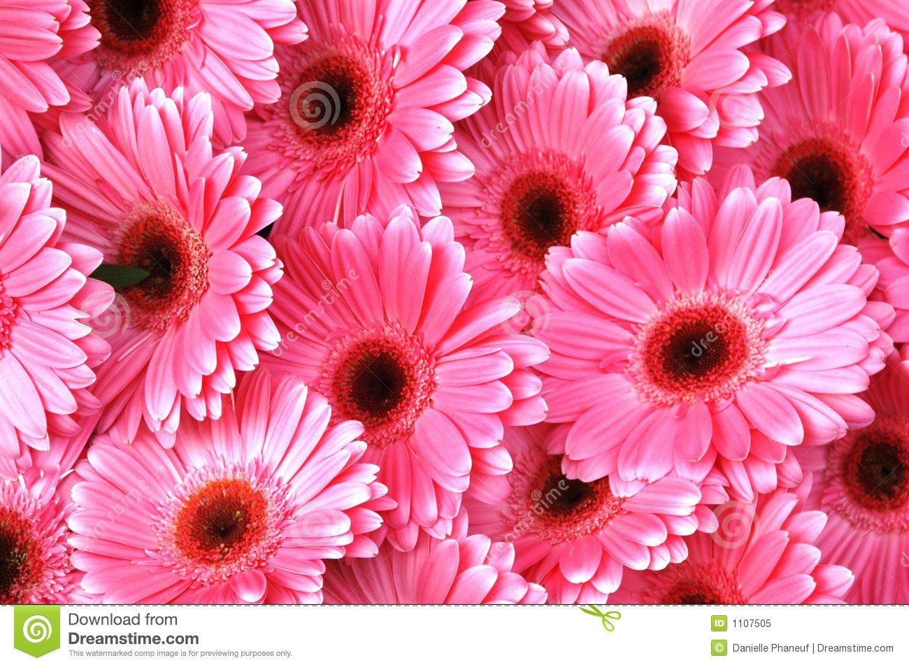bright pink gerbera daisies stock image image 1107505. Black Bedroom Furniture Sets. Home Design Ideas