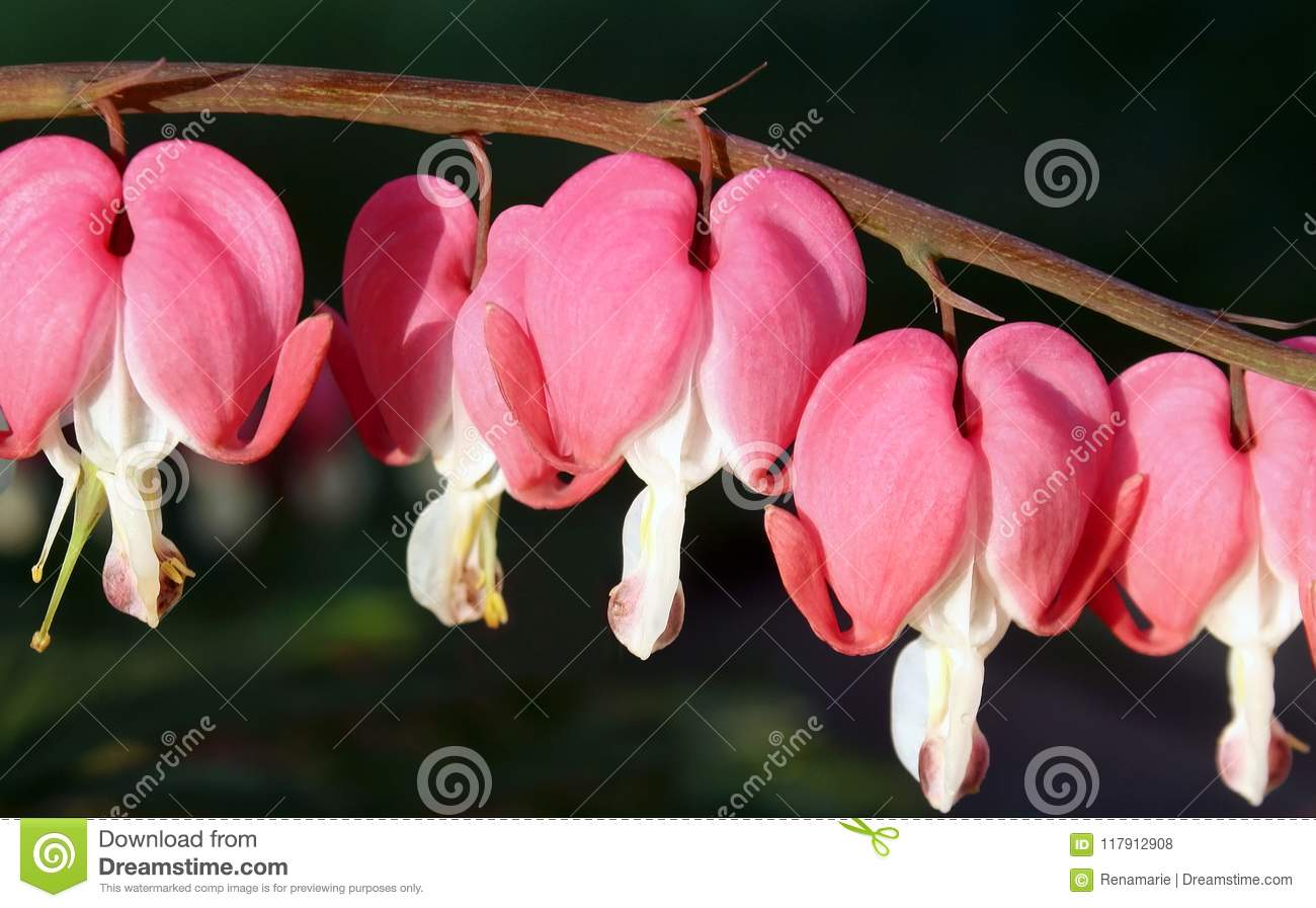 Bright Pink Heart Shaped Flowers Of The Bleeding Heart Plant Stock