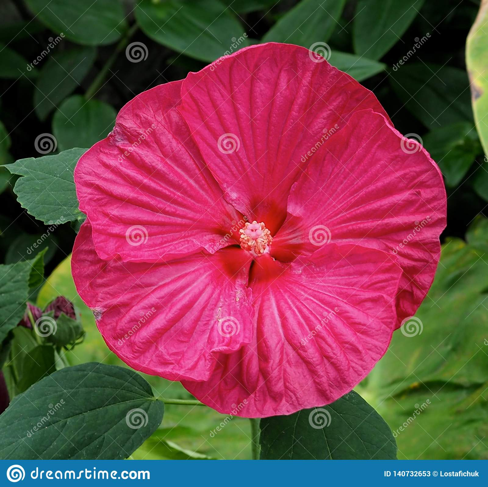Bright Pink Hibiscus Flower Against Green Leaves Stock Image Image