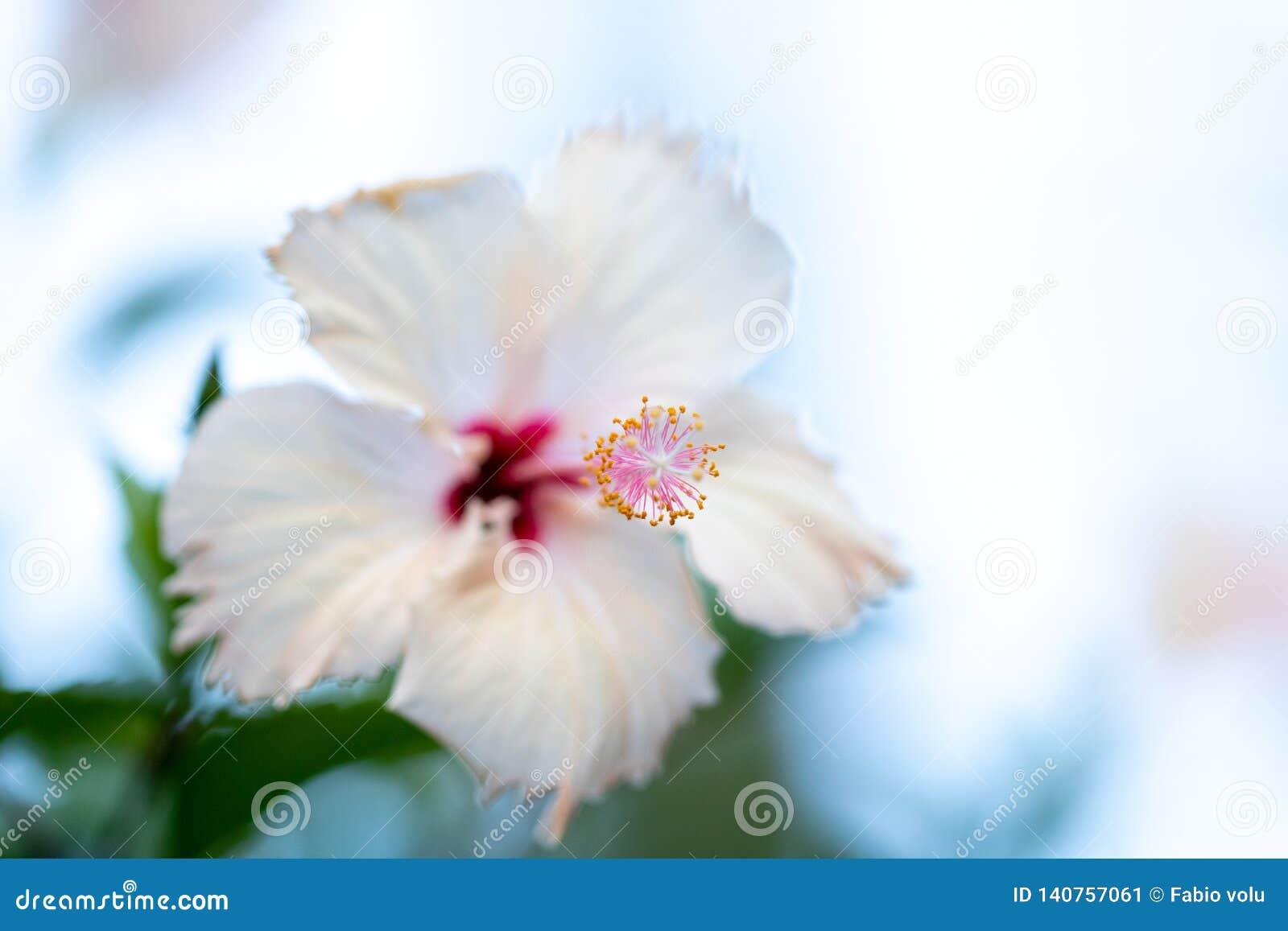 Bright Pink Large Flower Of Purple Hibiscus Hibiscus Rose Sinensis