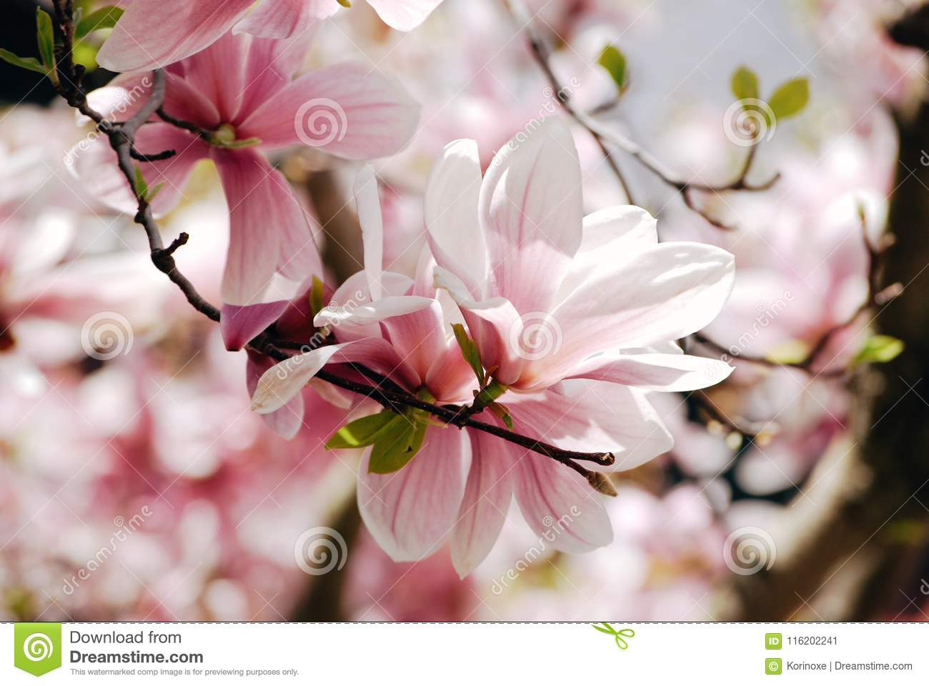 Pink Magnolia Tree Flowers On A Branch Stock Image Image Of Pastel