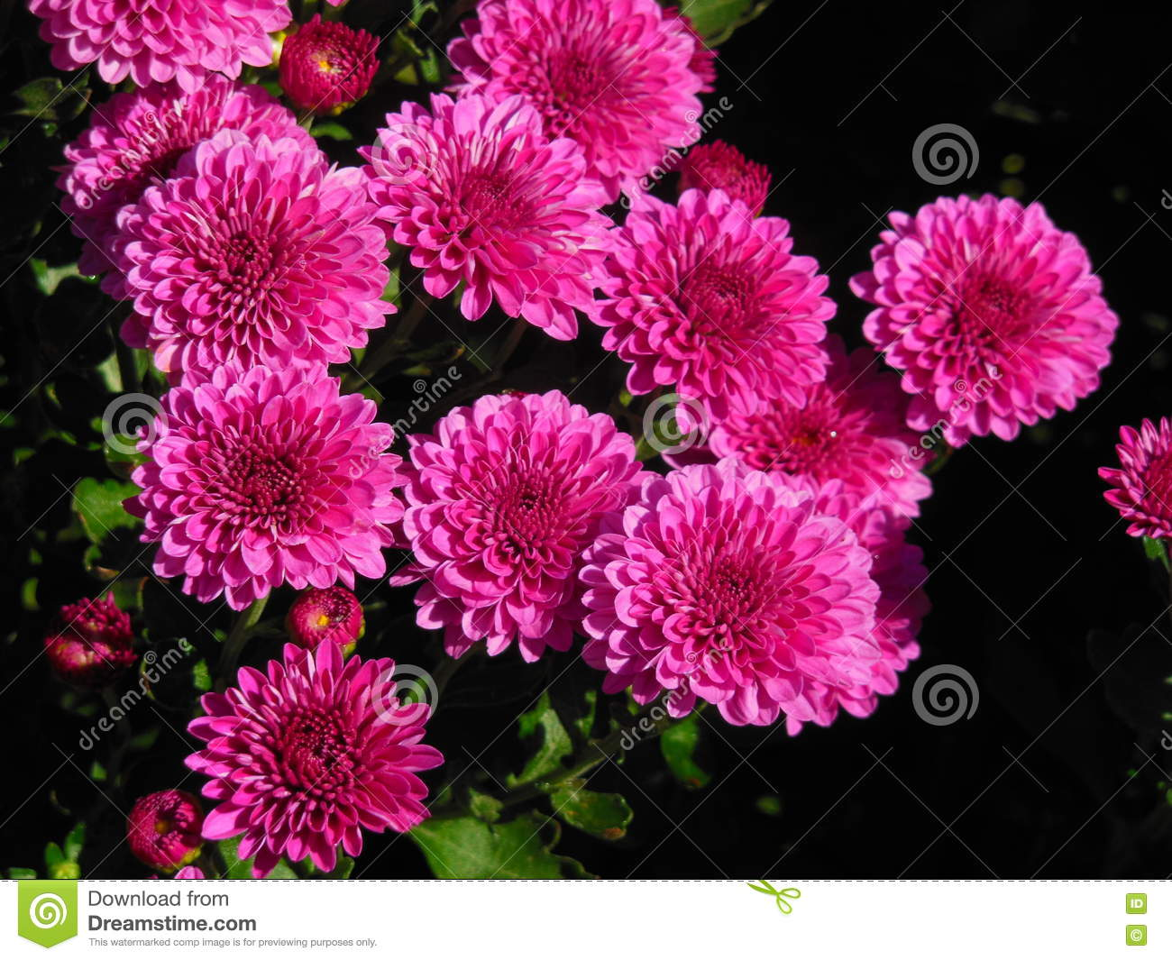 Bright Pink Mums Stock Image Image Of Colourful Petal 78418029