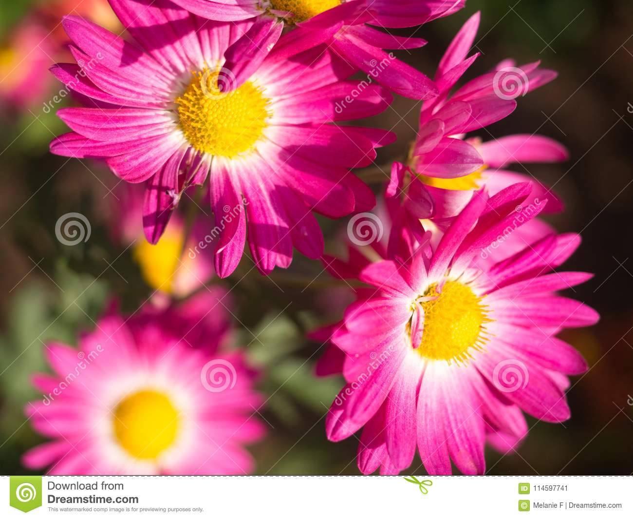 Bright Pink Mums Flowers Blooming In The Garden Stock Image Image