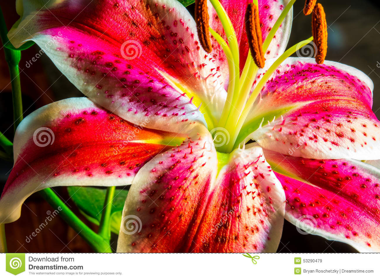 6af4a326d207 Bright Pink And Purple Tiger Lilly Stock Image - Image of focus ...