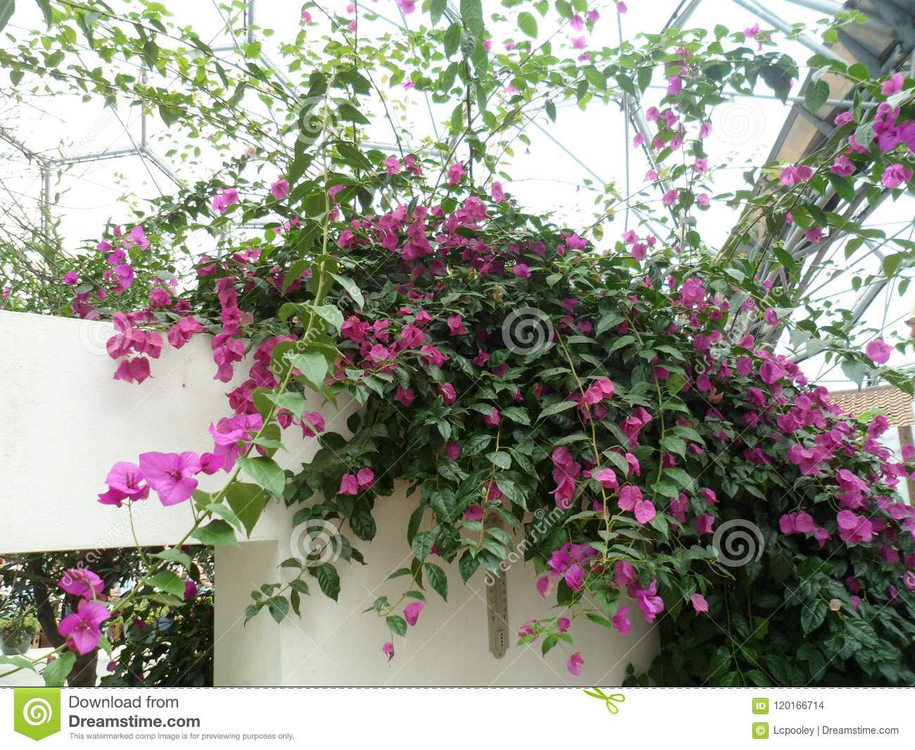 Bright pink trailing flowers stock photo image of pretty bright pink trailing flowers mightylinksfo