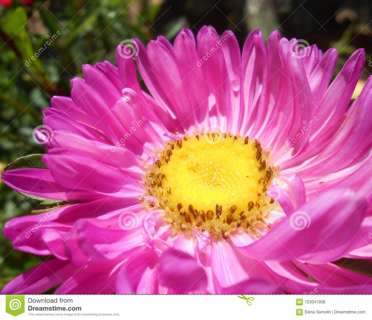 Bright Pink Violet Flower Stock Photo Image Of Garden 123041908