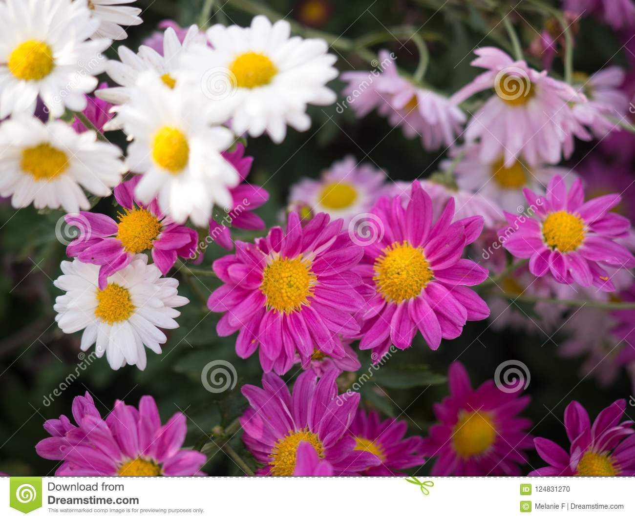 Bright Pink And White Mums Flowers Blooming In The Garden Stock