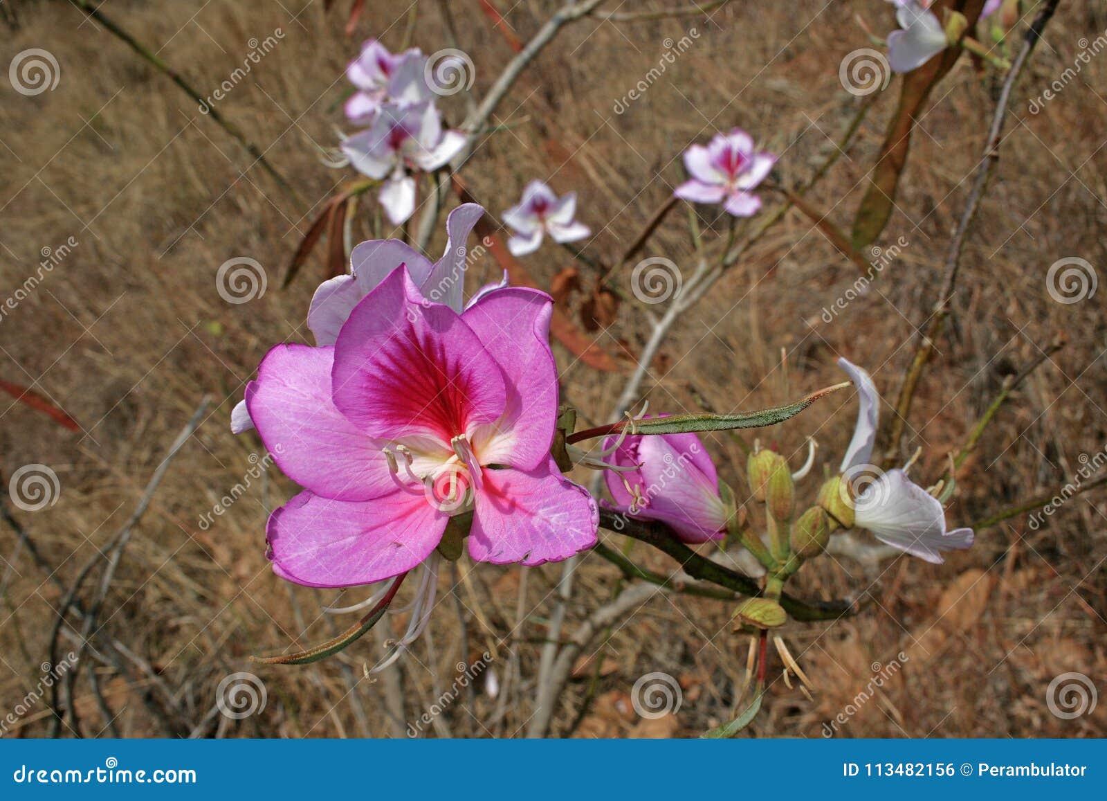 BRIGHT PINK WILD FLOWER IN GRASSLAND