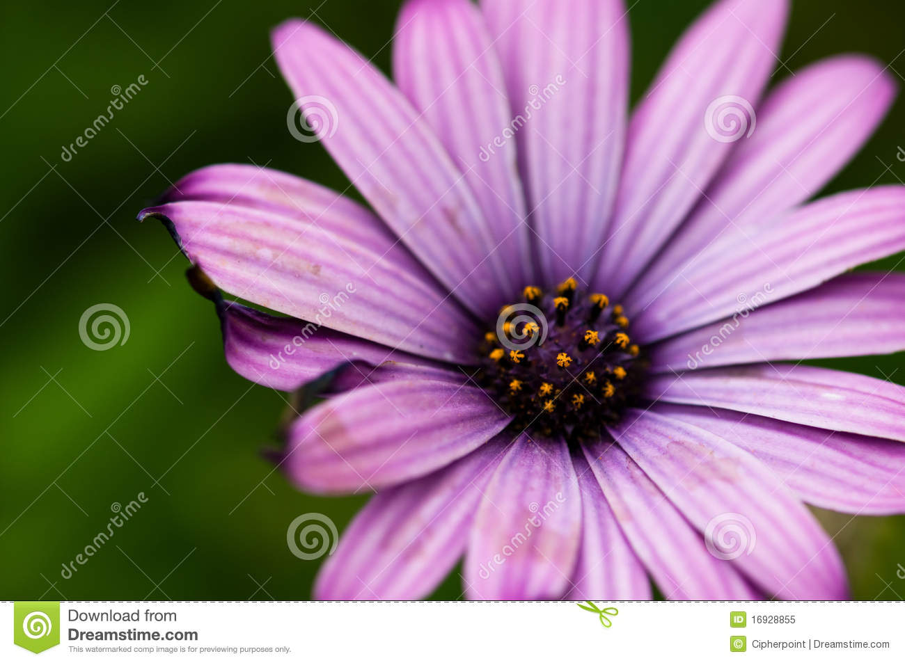Bright purple daisy flower stock image image of background 16928855 bright purple daisy flower izmirmasajfo