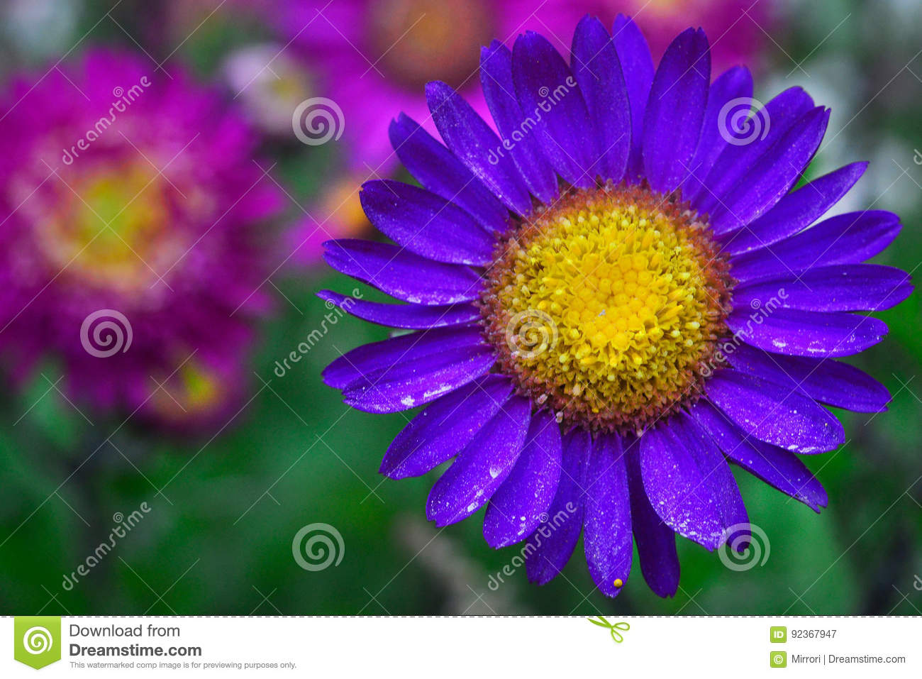 A bright purple flower with leaves on which there is little pollen royalty free stock photo download a bright purple flower mightylinksfo Choice Image