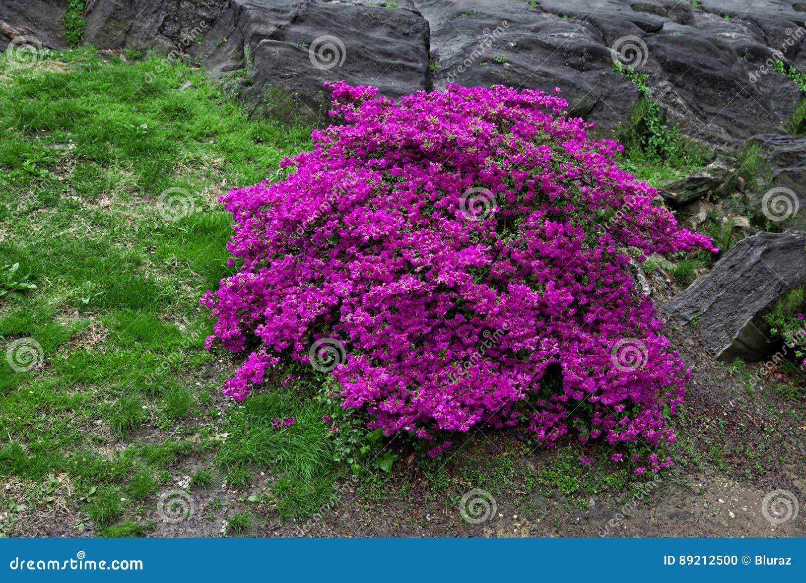 Bright Purple Flowering Bush Stock Photo Image Of Blossom Purple